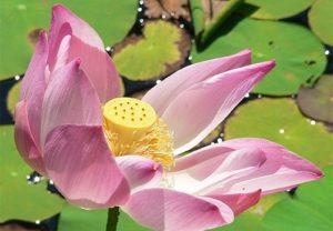 Lotus flower garden Villa Bali Breeze Lovina